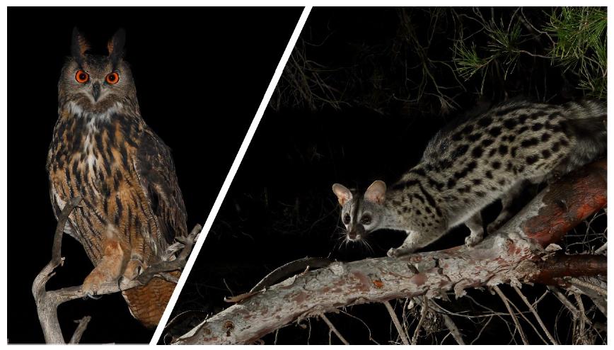 El búho real yla gineta, dos imponentes miembros de la fauna nocturna de Calblanque. Imagen: Ulula