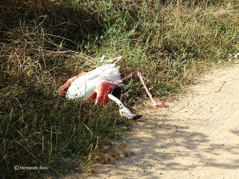 Flamenco muerto por colisión con tendido eléctrico en Corral Rubio. Imagen: Fernando Rico