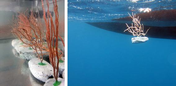 Gorgonias en laboratorio y durante los trabajos de 'replantación' del proyecto ResCap. Imagen: ICM / CSIC / ResCap