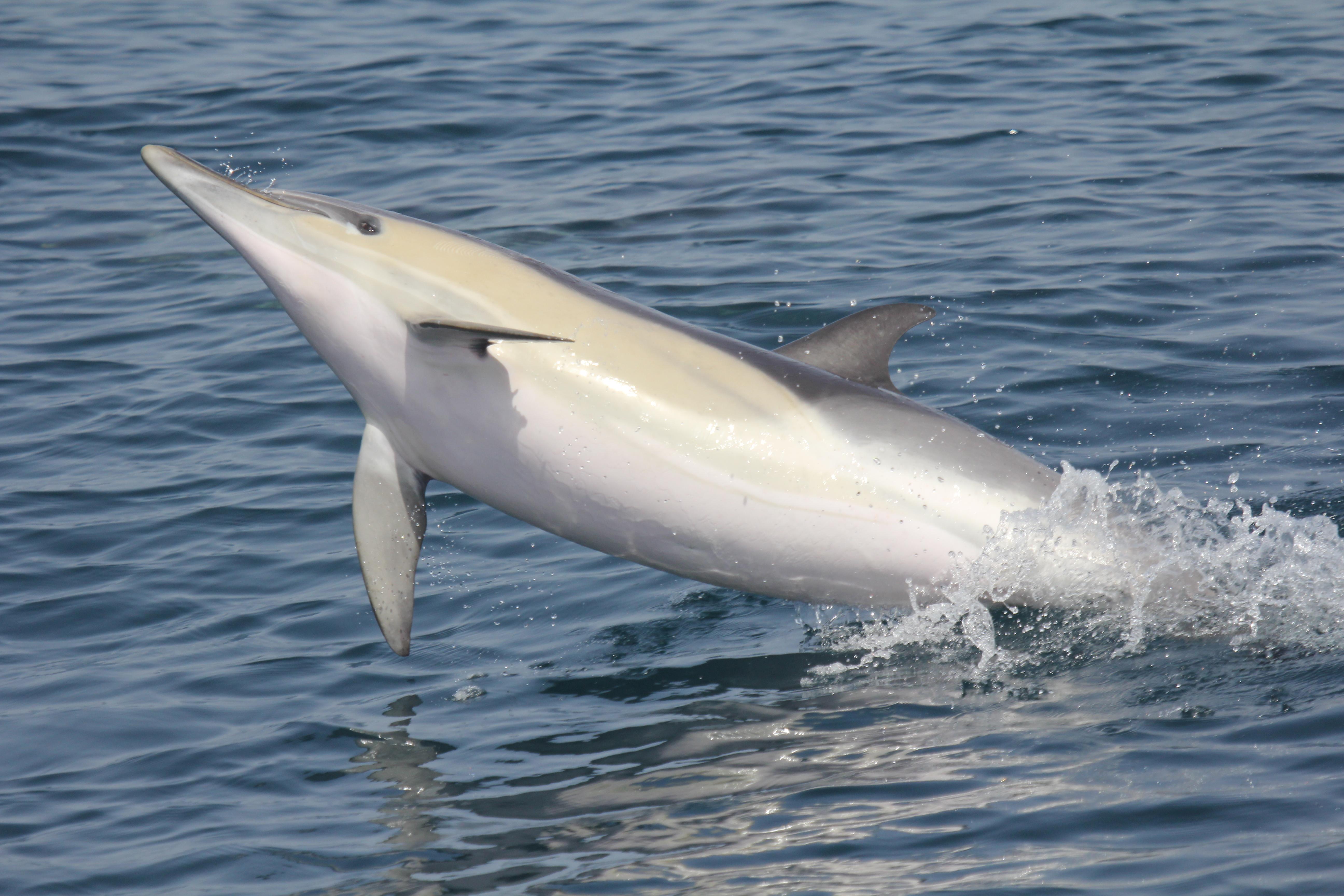 Ejemplar de delfín en el Mar de Alborán. Imagen: CIRCE /CSIC
