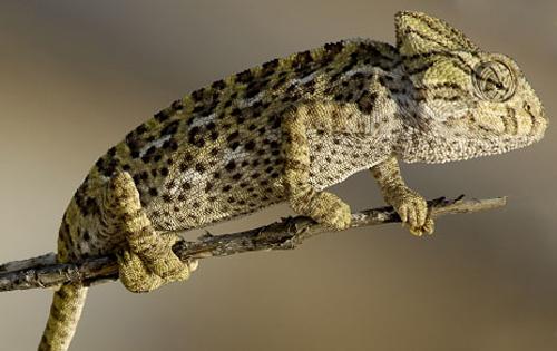 Ejemplar de camaleón de una especie protegida. Imagen: CSIC