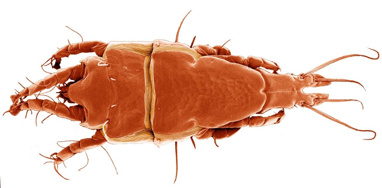 Ejemplar de ácaro de la especie 'Trouessartia bifurcata'. Imagen: Heather Proctor (University of Alberta) / CSIC
