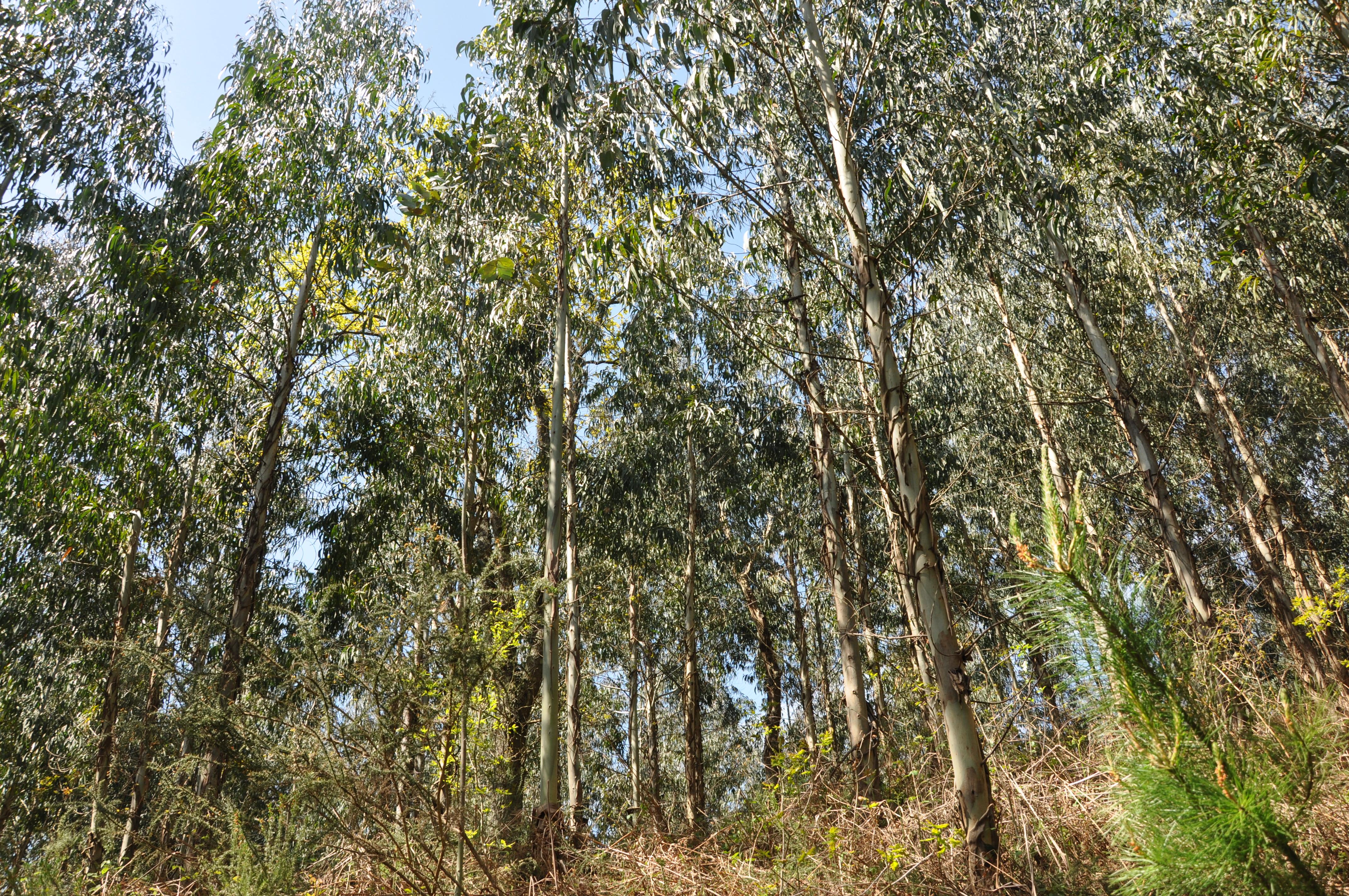 Plantación de eucaliptos en Okondo, Alava. FOTO: Maider Iglesias