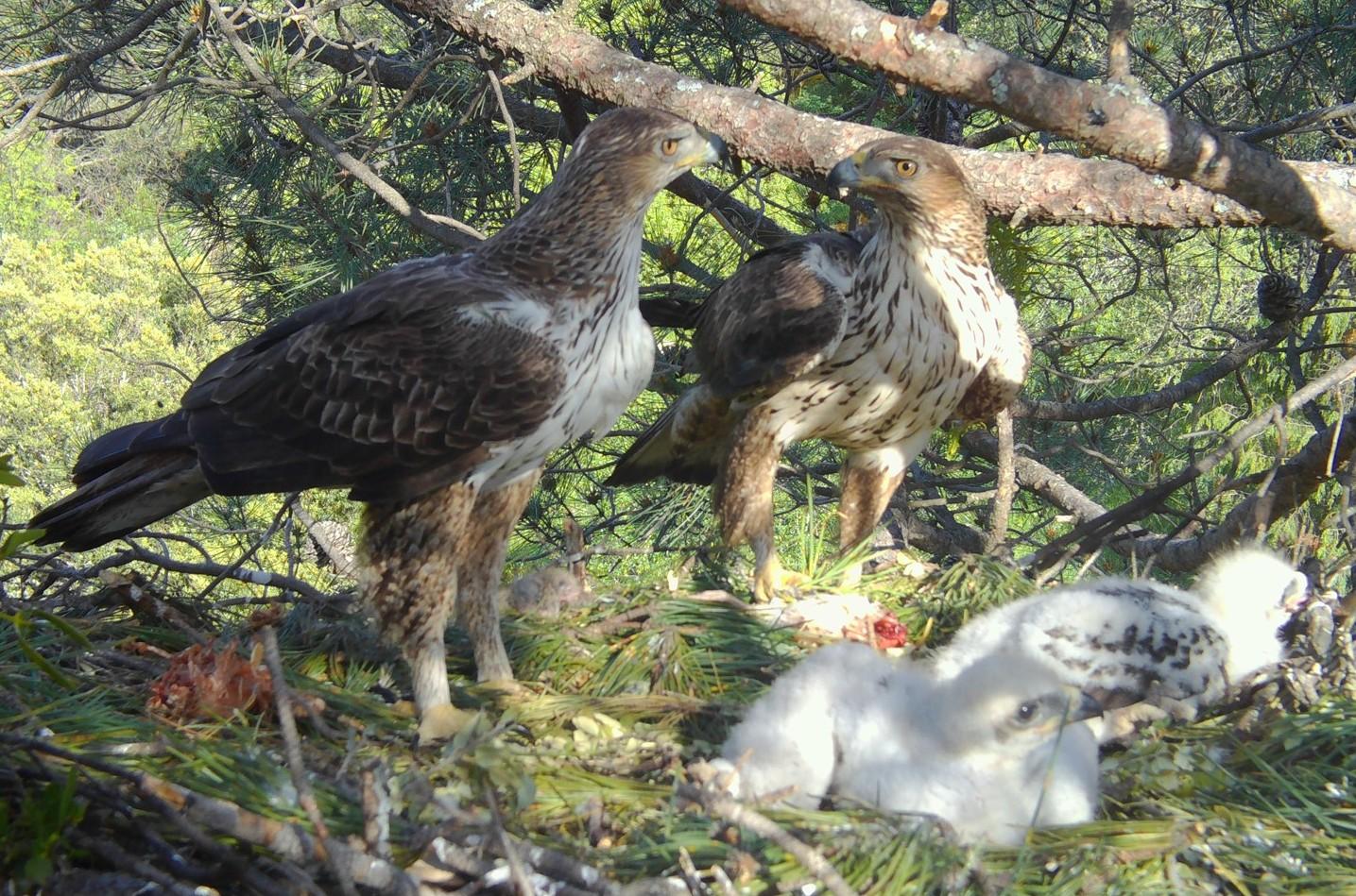 Pareja de águila de Bonelli reintroducida en la Comunidad de Madrid, junto a sus dos pollos nacidos en 2020. Imagen: Grefa y Soul Natura