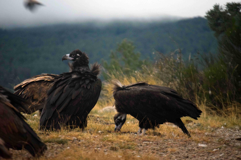 Acebo (a la izquierda) y Arca son la primera pareja de buitre negro que cría en la Sierra de la Demanda. Imagen:  Grefa