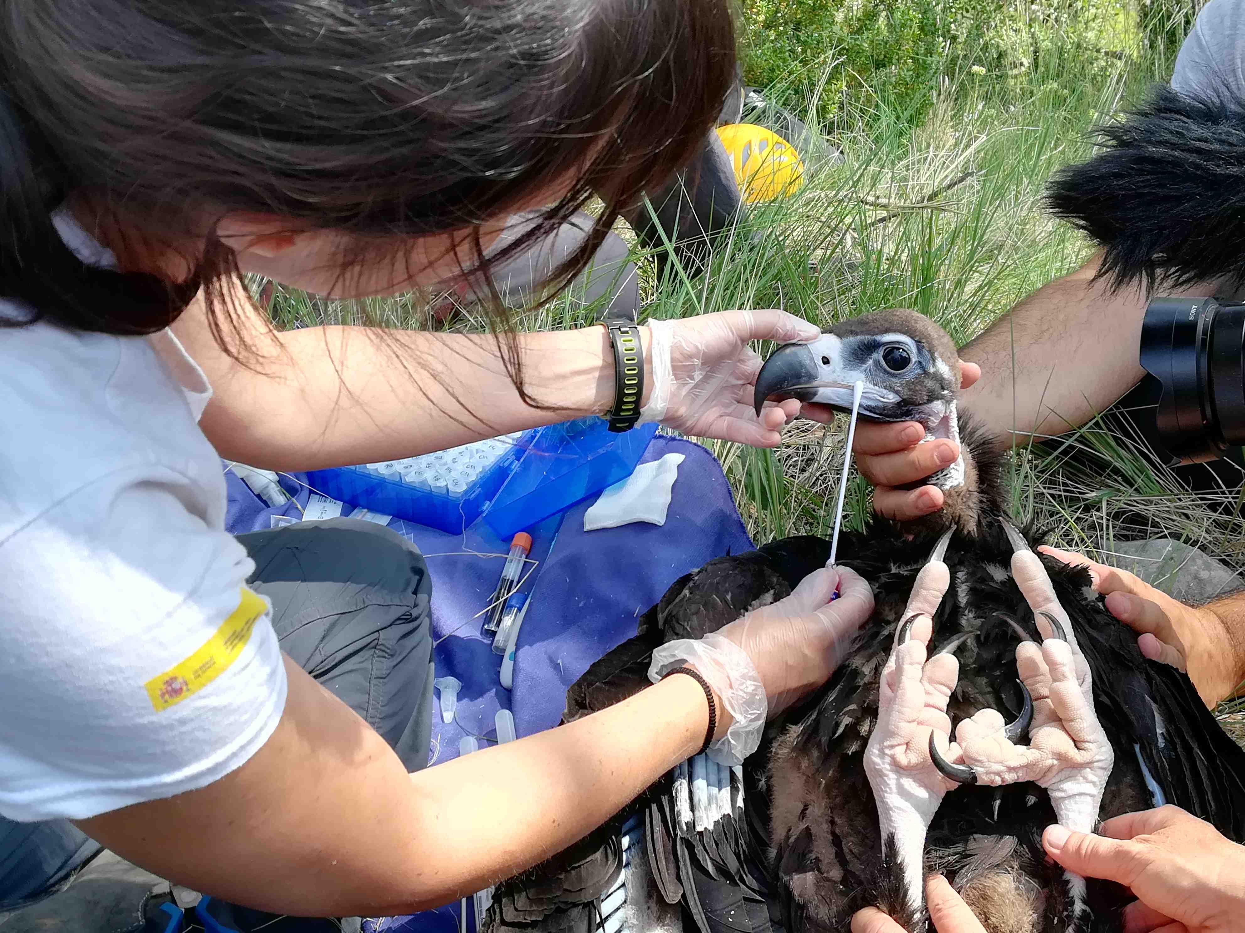 Una veterinaria de Grefa toma muestras a un buitre negro en Pirineos. Imagen: Grefa