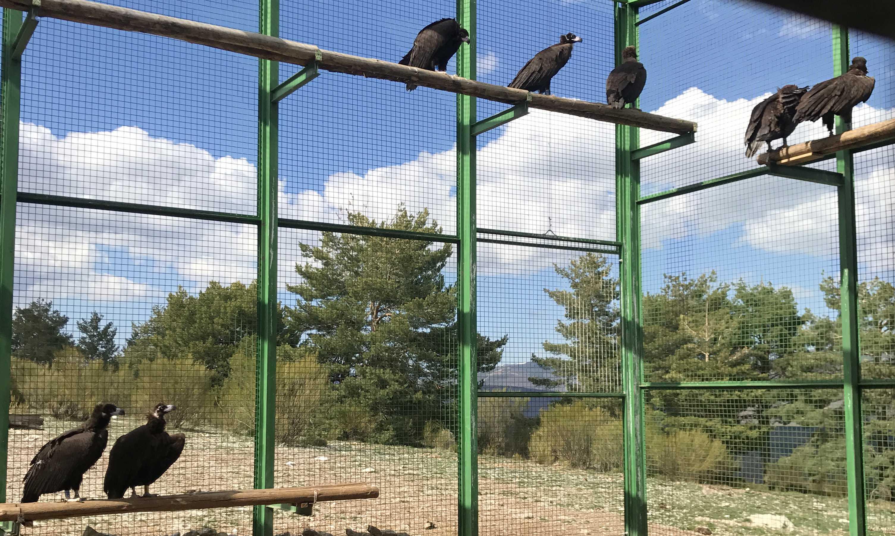 Buitres negros en un jaulón de aclimatación del municipio de Huerta de  Arriba (Burgos), en la Sierra de la Demanda, desde donde serán liberados próximamente. Imagen: Grefa