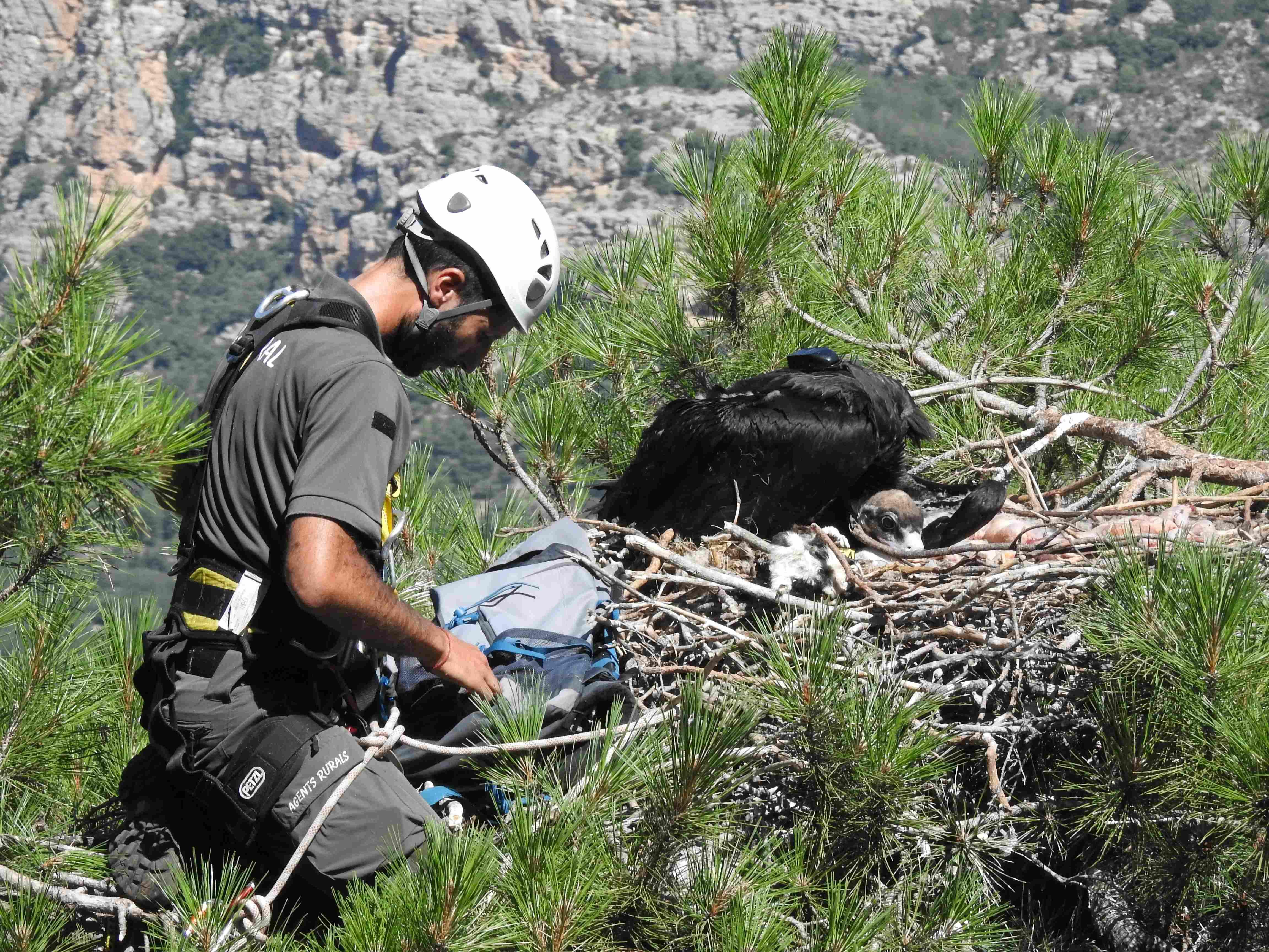 Un agente forestal devuelve a un pollo de buitre negro a su nido de Pirineos tras la colocación de un emisor GPS a este ejemplar. Foto: PRBNC