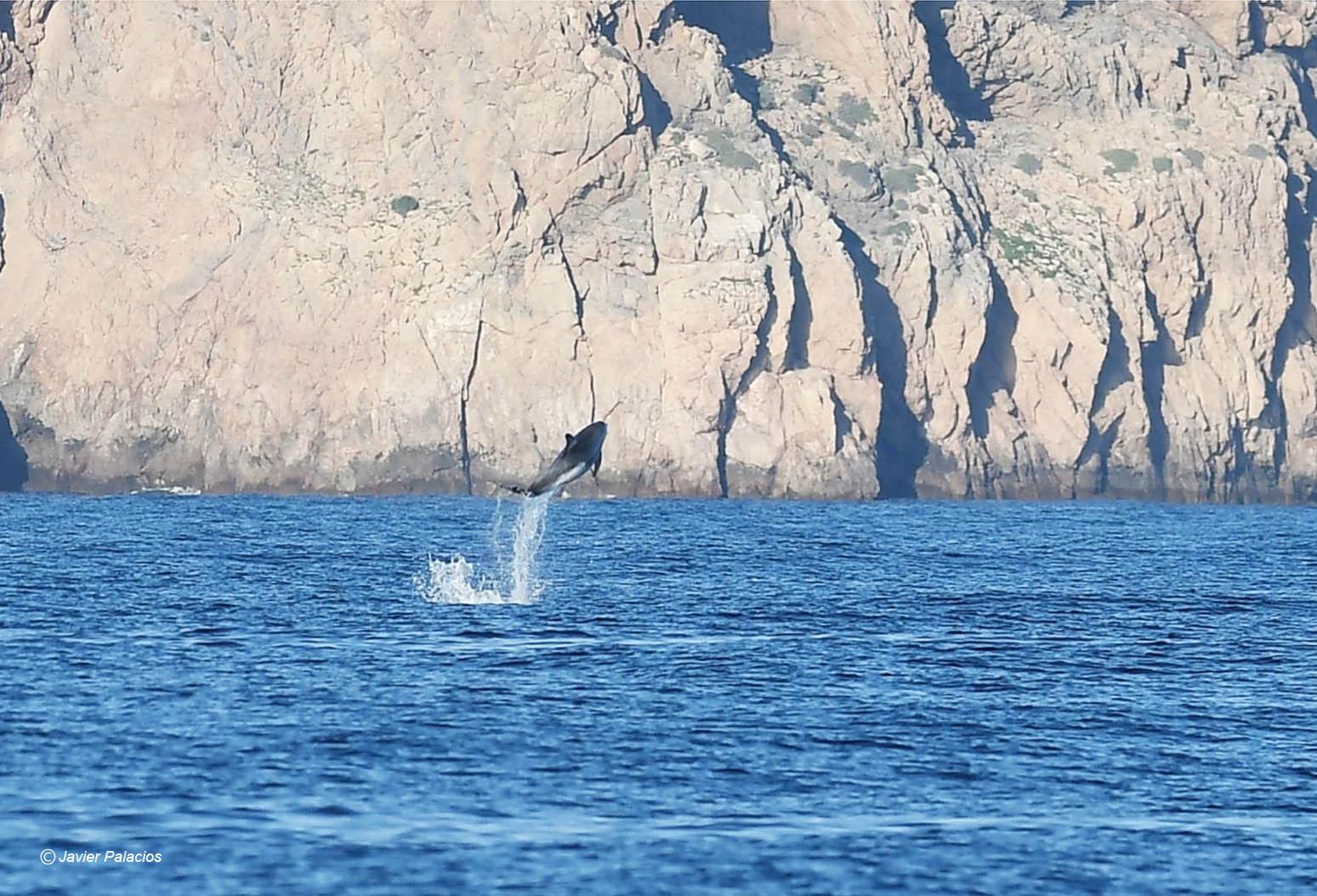 Delfín saltando frente a los acantilados de Cabo Tiñoso. Imagen: Javier Palacios