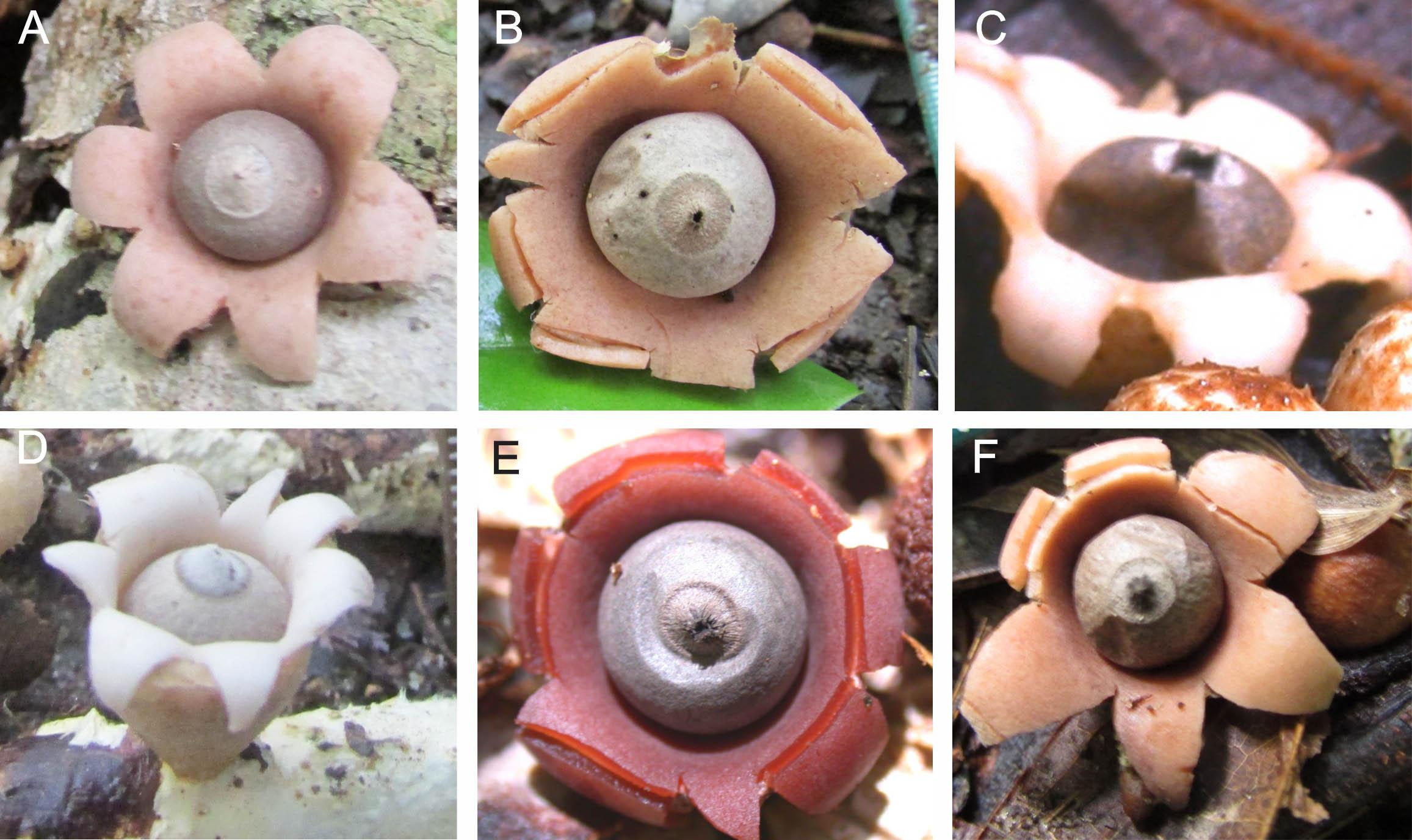 Cuerpos fructíferos de las seis especies nuevas. A) 'Geastrum baculycristallum', B) 'G. brunneocapillatum', C) 'G. courtecuisse', D) 'G. neoamericanum', E) 'G. rubellum', F) 'G. rubropusillum'. Imagen: J.O. Sousa / CSIC