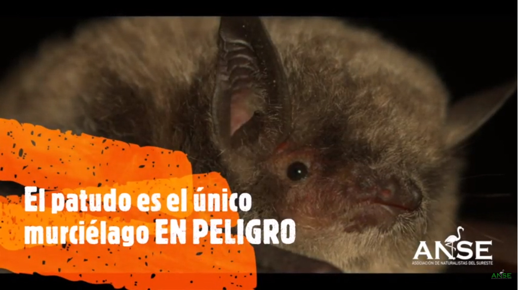 Fotograma del vídeo 'Secretos del murciélago patudo en el Sureste' de ANSE (https://www.youtube.com/watch?v=uli34N3xur0)