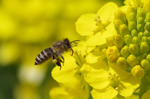 Una abeja asiática poliniza una planta de la familia de las Brasicáceas (crucíferas). Imagen: Tetsuya Shimizu / CSIC