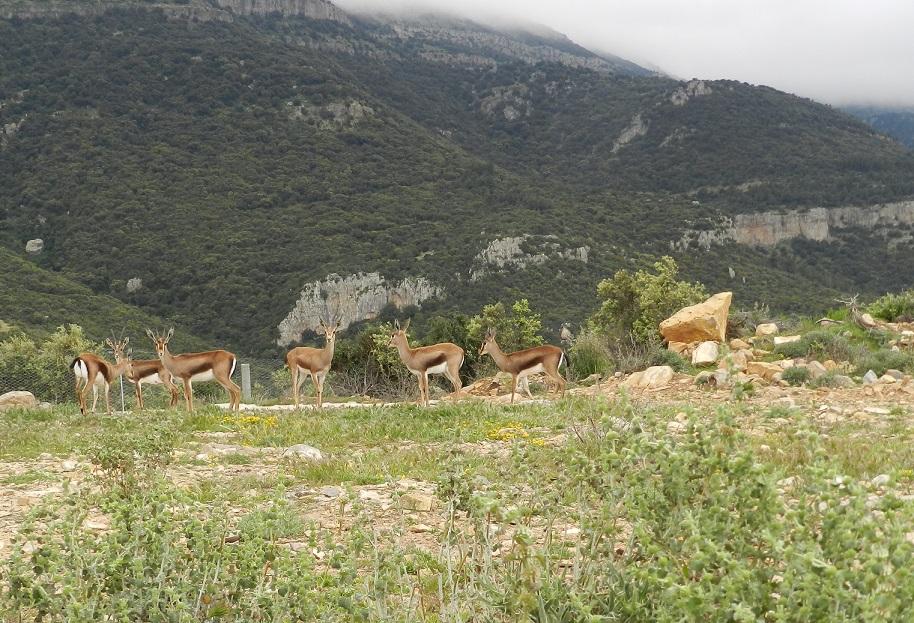 Si todo marcha bien, el próximo otoño se liberará un gran grupo de gacelas en el Atlas. Imagen: CSIC