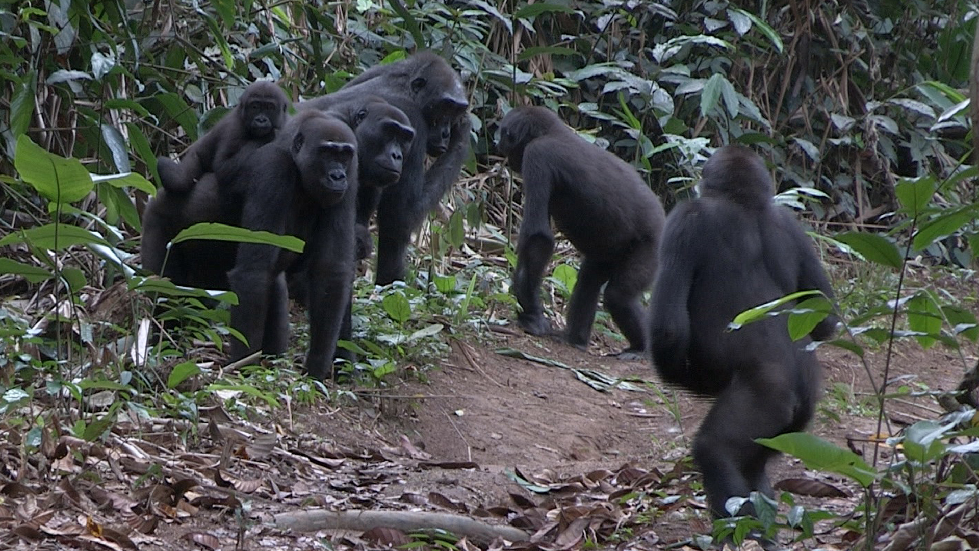 Un grupo familiar, en la selva de Ngaga. Imagen: German Illera / CSIC