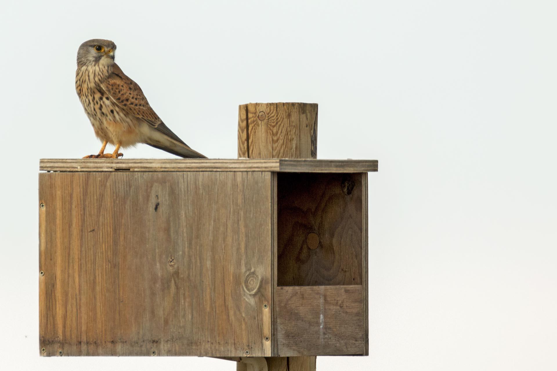 Macho de cernícalo vulgar posado en una caja nido instalada en Villafruela (Burgos) para el control biológico del topillo. Imagen: Alberto Álvarez / Grefa