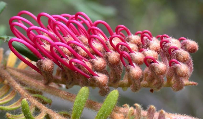 Flor de un arbusto del género Grevillea (familia Proteaceae), originario de Australia. Imagen: UICN