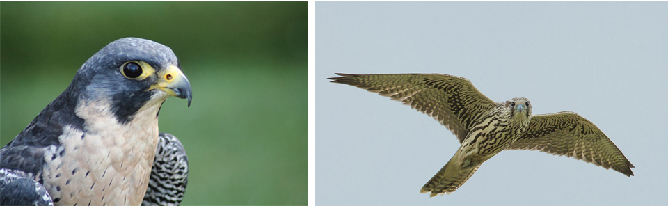 Imágenes de archivo de halcón peregrino