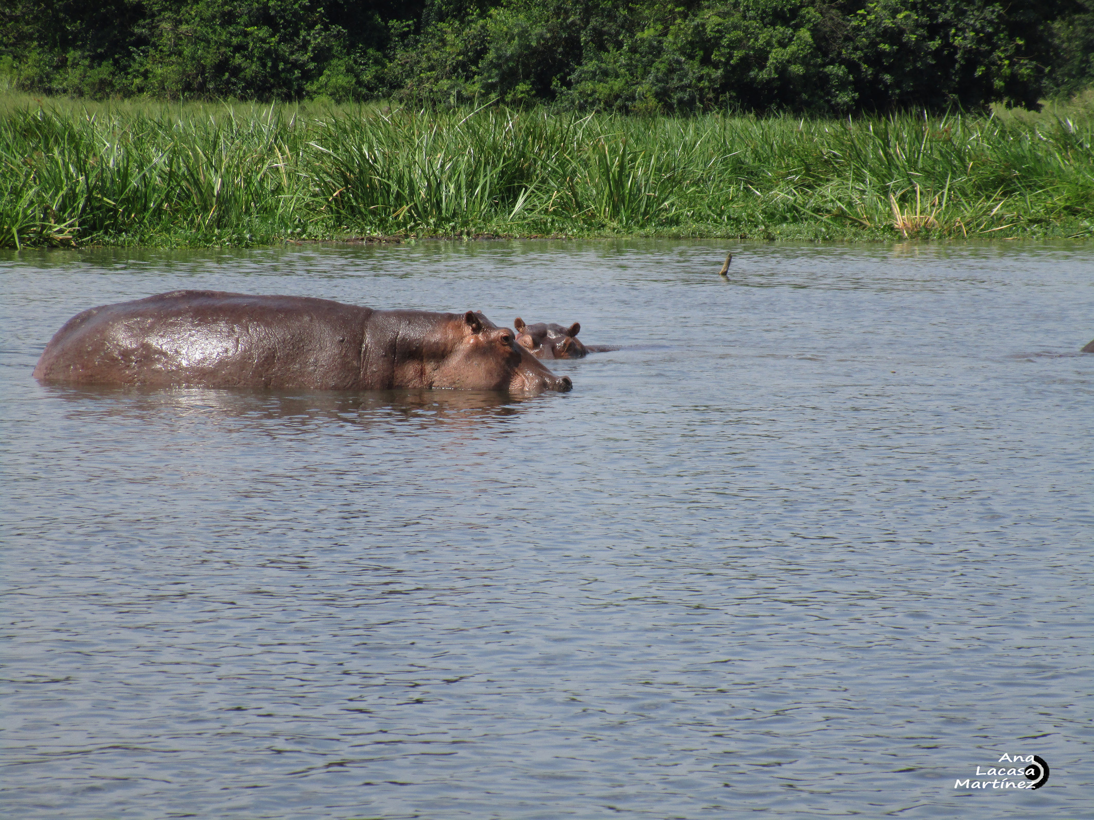 Los hipopótamos, uno de los animales más peligrosos del planeta
