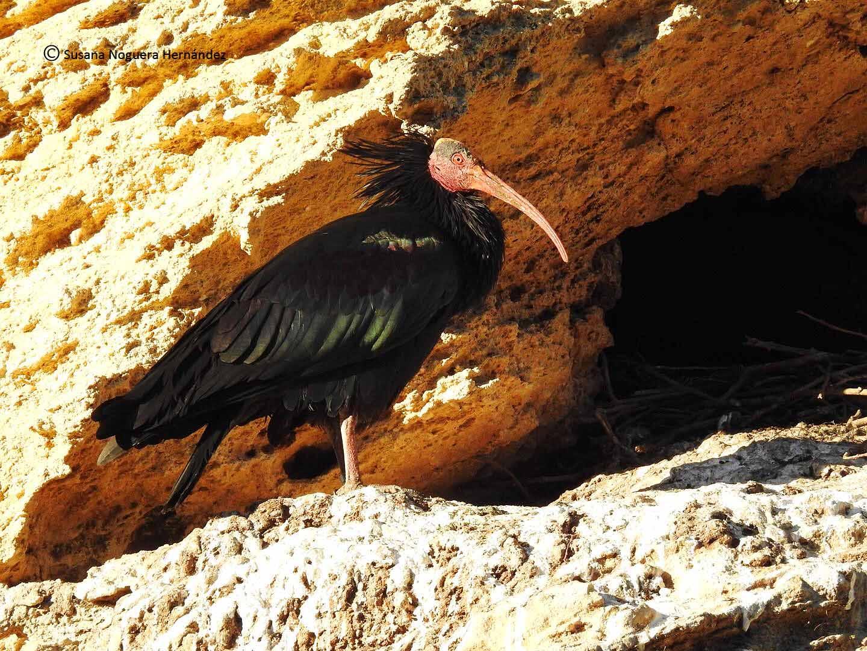 Ibis eremita, especie en peligro crítico de extinción. Imagen: susana Noguera