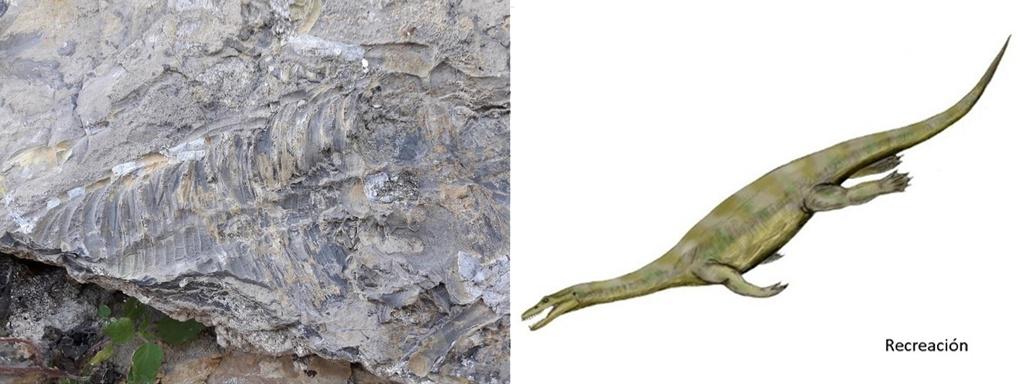 Imagen del fósil hallado en Cehegín y recreación del sauropterigio. Imagen: CARM