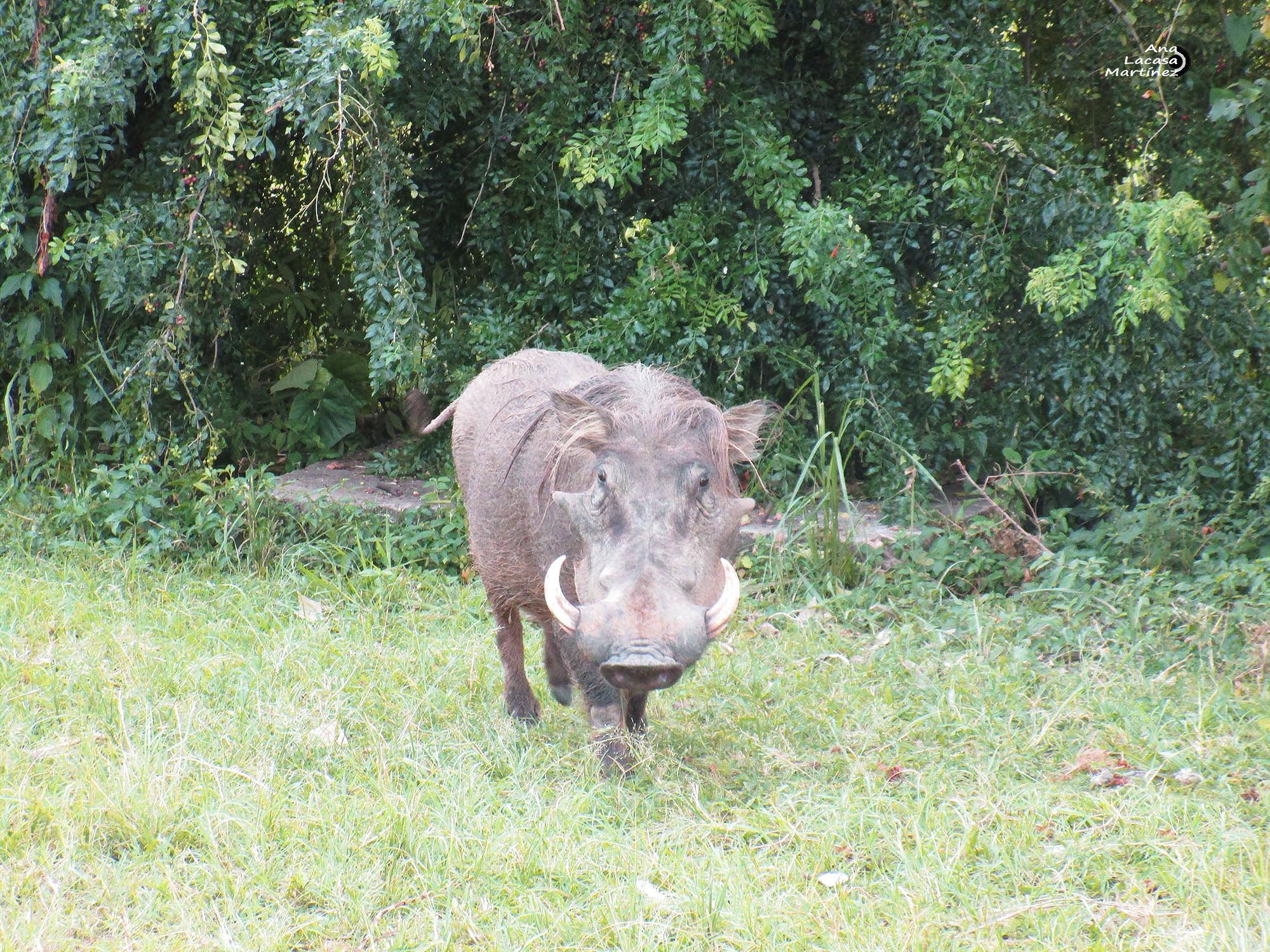 Un jabalí africano que nos miró de frente