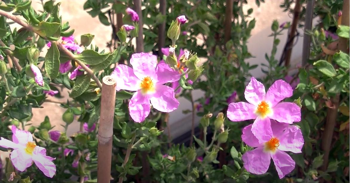 Fotograma del vídeo 'Jara de Cartagena. Patrimonio de todos', con varias flores de la especie.