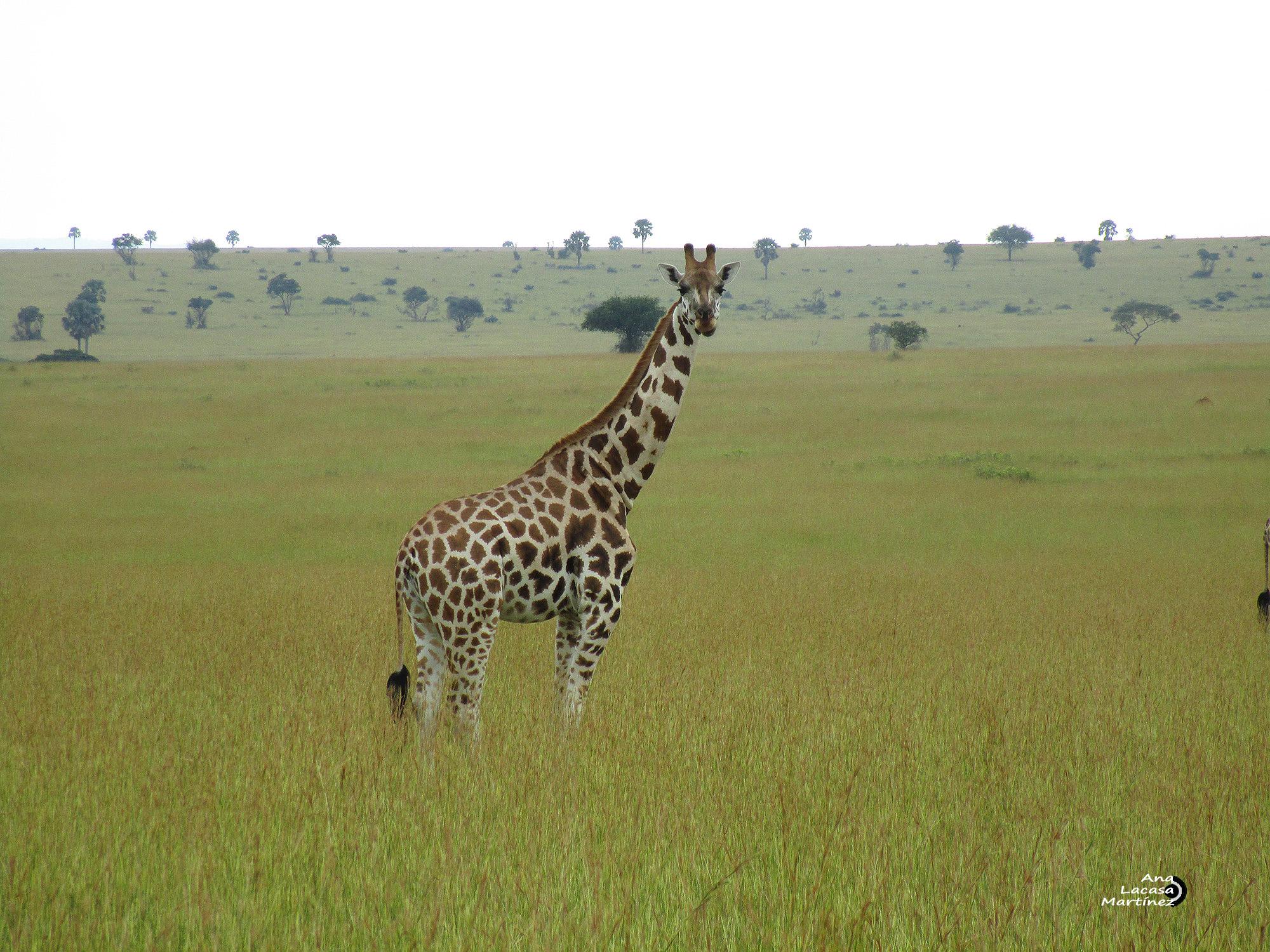 Un macho de jirafa, distinguible por sus tonos más oscuros