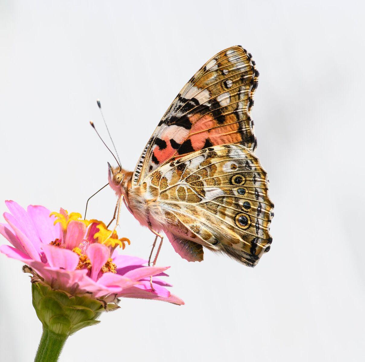Un ejemplar de cardera libando de una flor (fotografía de perfil). Imagen: Vlad Dinca / CSIC