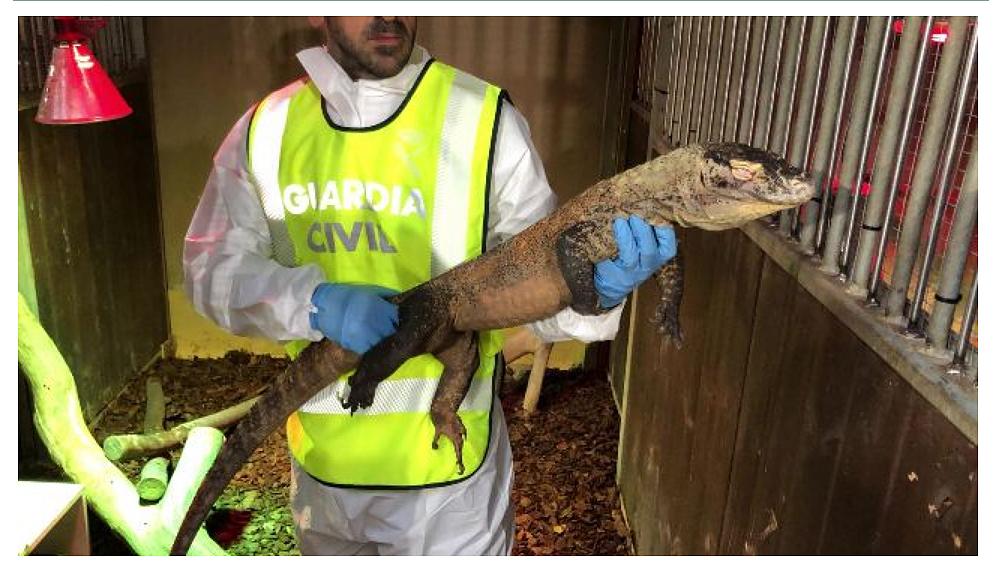 El dragón del Komodo intervenido. Imagen: Seprona