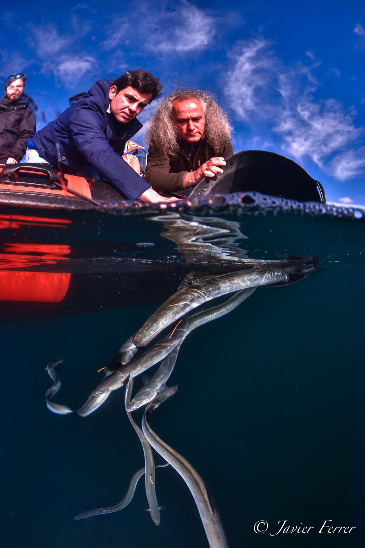 Colocación de emisor de telemetría en una anguila del Mar Menor. Imagen: Pedro García-ANSE