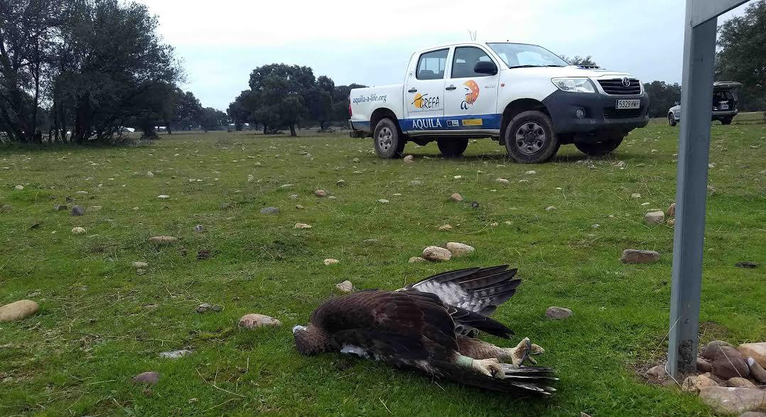 Águila de Bonelli muerta por electrocución en la provincia de Toledo. Foto: GREFA. Foto: Juan José Iglesias / Grefa