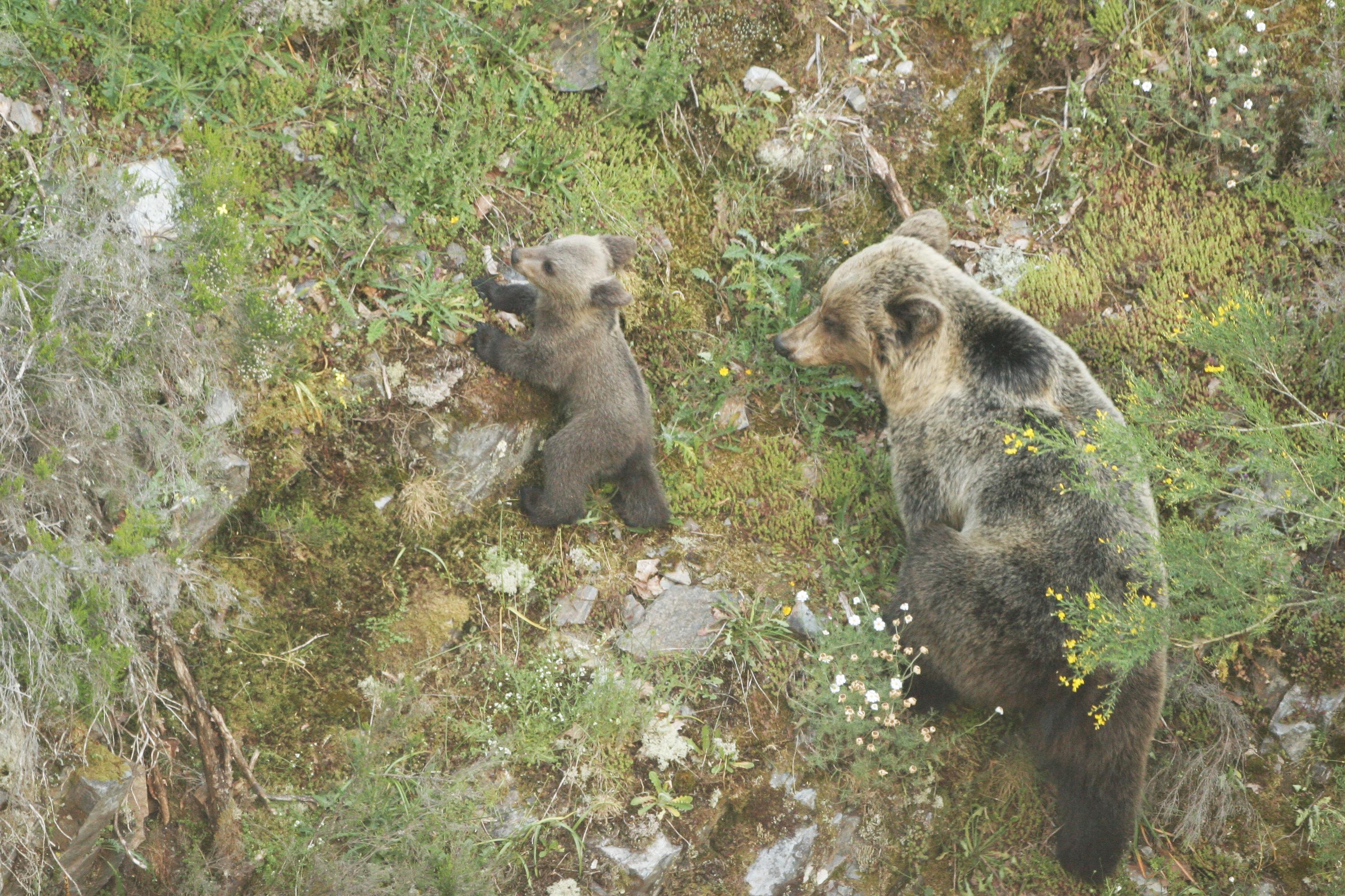 El cambio climático afectará al oso pardo especialmente en su hibernación y su alimentación. Imagen: Miteco