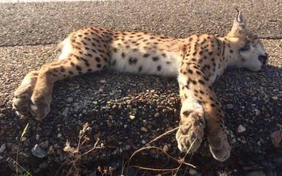 Un lince atropellado recientemente. Imagen: WWF