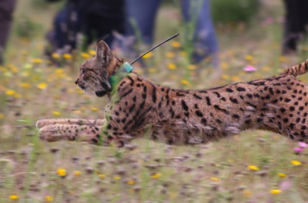 El radiomarcaje permite conocer mejor a esta especie, sus hábitos y zonas de desplazamiento. Imagen: WWF