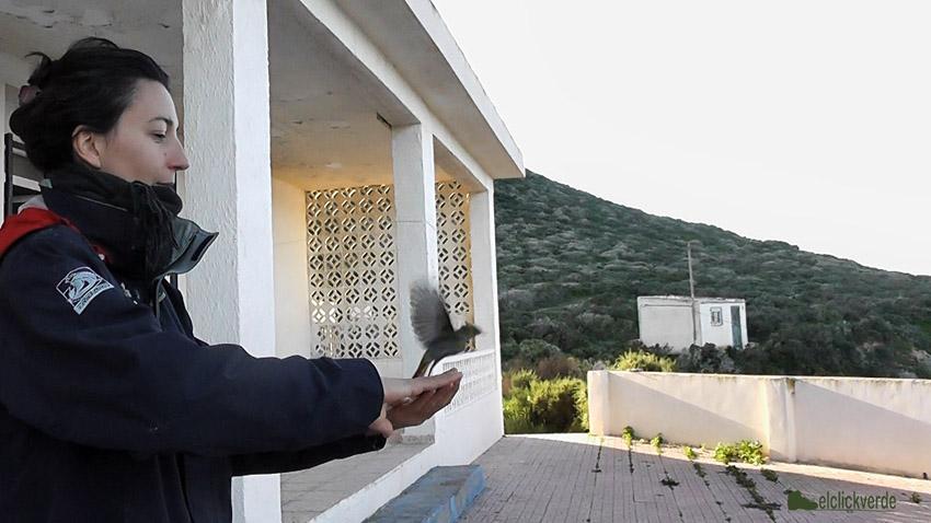 Lise Pomarède libera un colirrojo tras registrar sus datos.