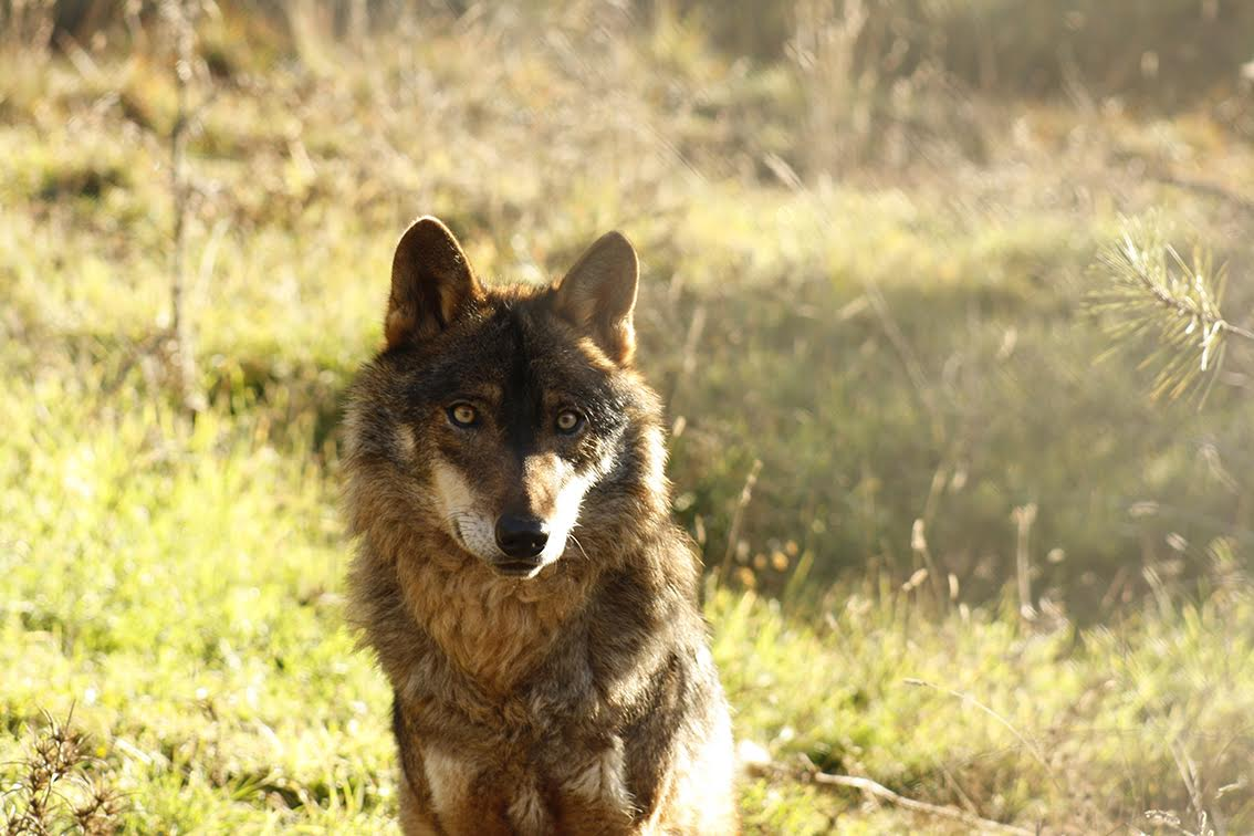 Lobo ibérico fotografiado en condiciones de semi-libertad. Imagen: Grefa