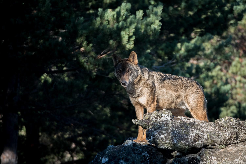 Hay que comenzar a poner en valor lo que el lobo representa y lo que el lobo aporta a la sociedad. Imagen: WWF