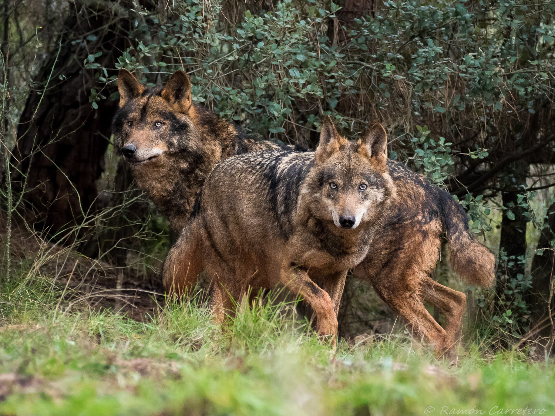 Dos bellísimos ejemplares de lobo. Imagen: Ramón Carretero / WWF