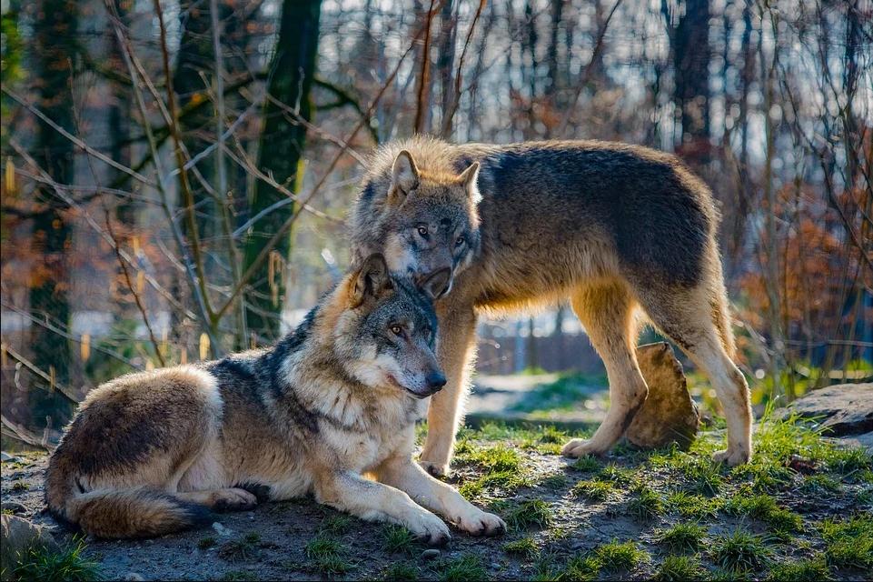 Además, a este grupo hay que unir la constitución de un comité responsable de evaluar el seguimiento continuo de las poblaciones de lobo ibérico. Imagen: Pîxabay