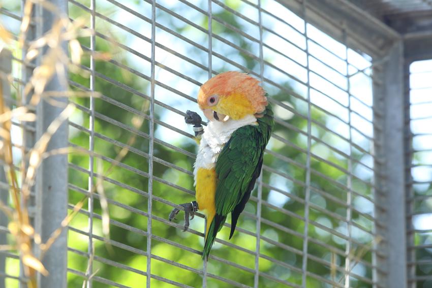 Lorito incautado del tráfico de especies y que ahora vive en un centro de rescate. © Imagina Producciones/WWF
