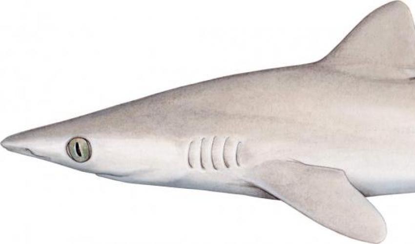 El tiburón perdido entra en la Lista Roja en la categoría 'En Peligro Crítico (Posiblemente Extinto)'. Imagen: UICN