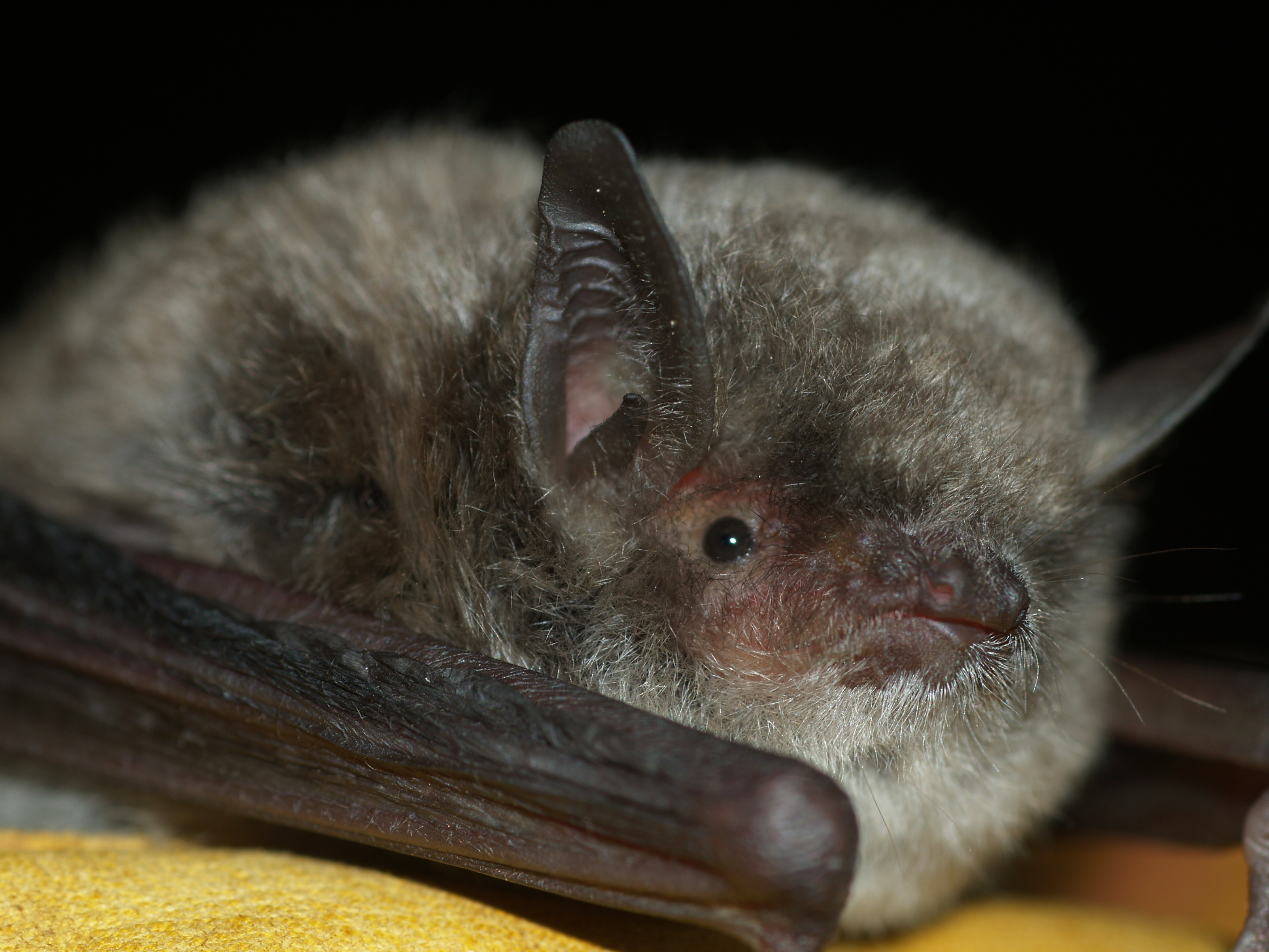 Murciélago ratonero patudo. Imagen: ANSE