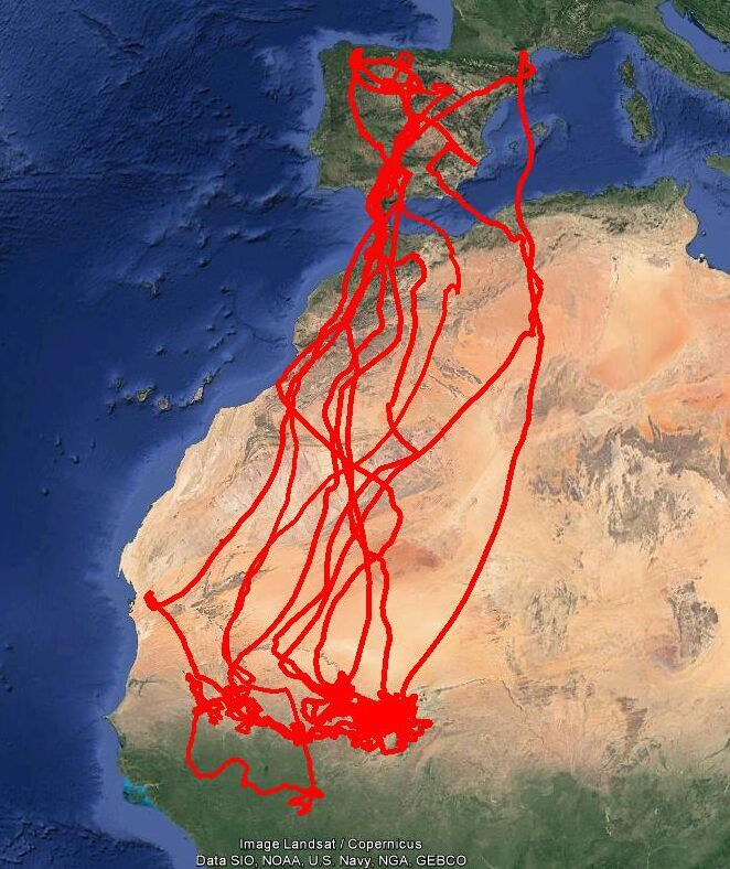 Mapa que muestra el viaje migratorio de 5 cernícalos primilla marcados con dispositivos GPS en distintas provincias españolas. Imagen: SEO/BirdLife y GREFA