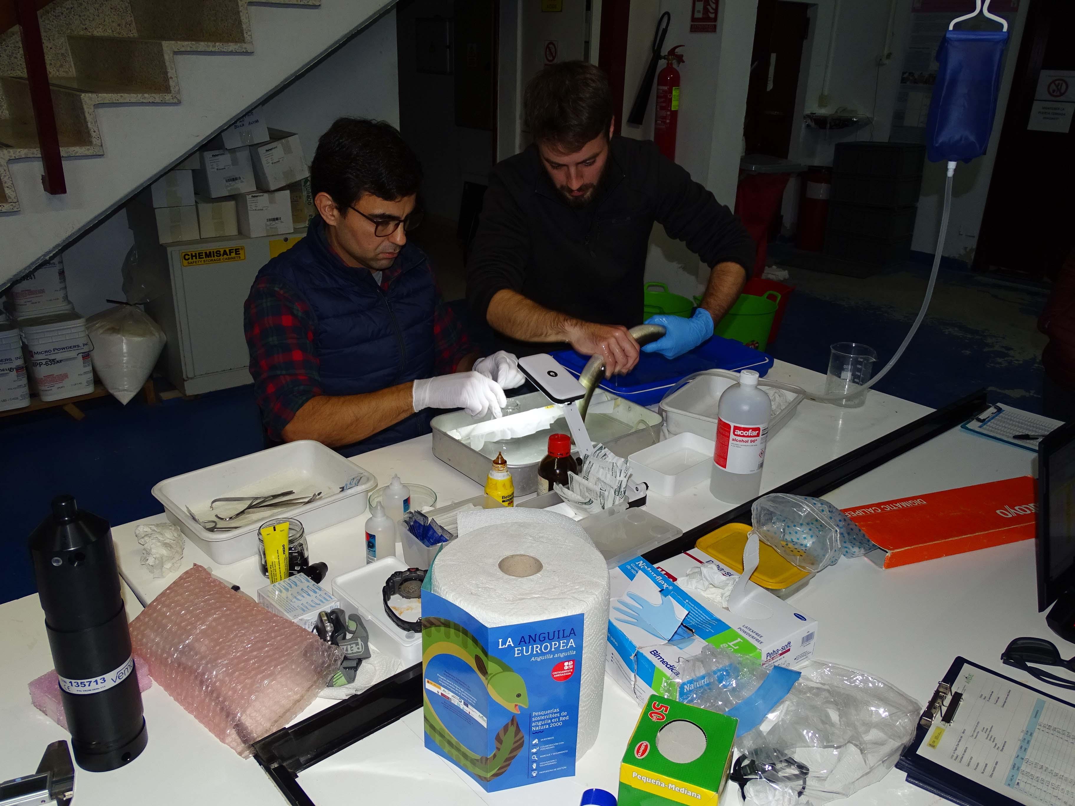 Marcaje de anguilas en laboratorio. Imagen: Carmen Martínez / ANSE