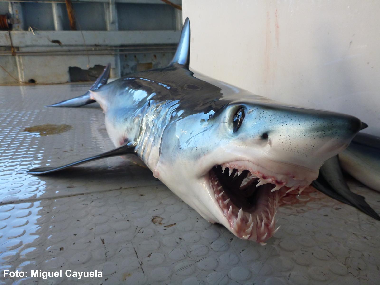 Un tiburón marrajo, que pertenece a la misma familia que el gran tiburón blanco (Lamnidae) pero es de inferior tamaño y vive en las profundidades, siendo extraño en aguas someras y cercanas a la costa. Imagen de Miguel Cayuela - IEO