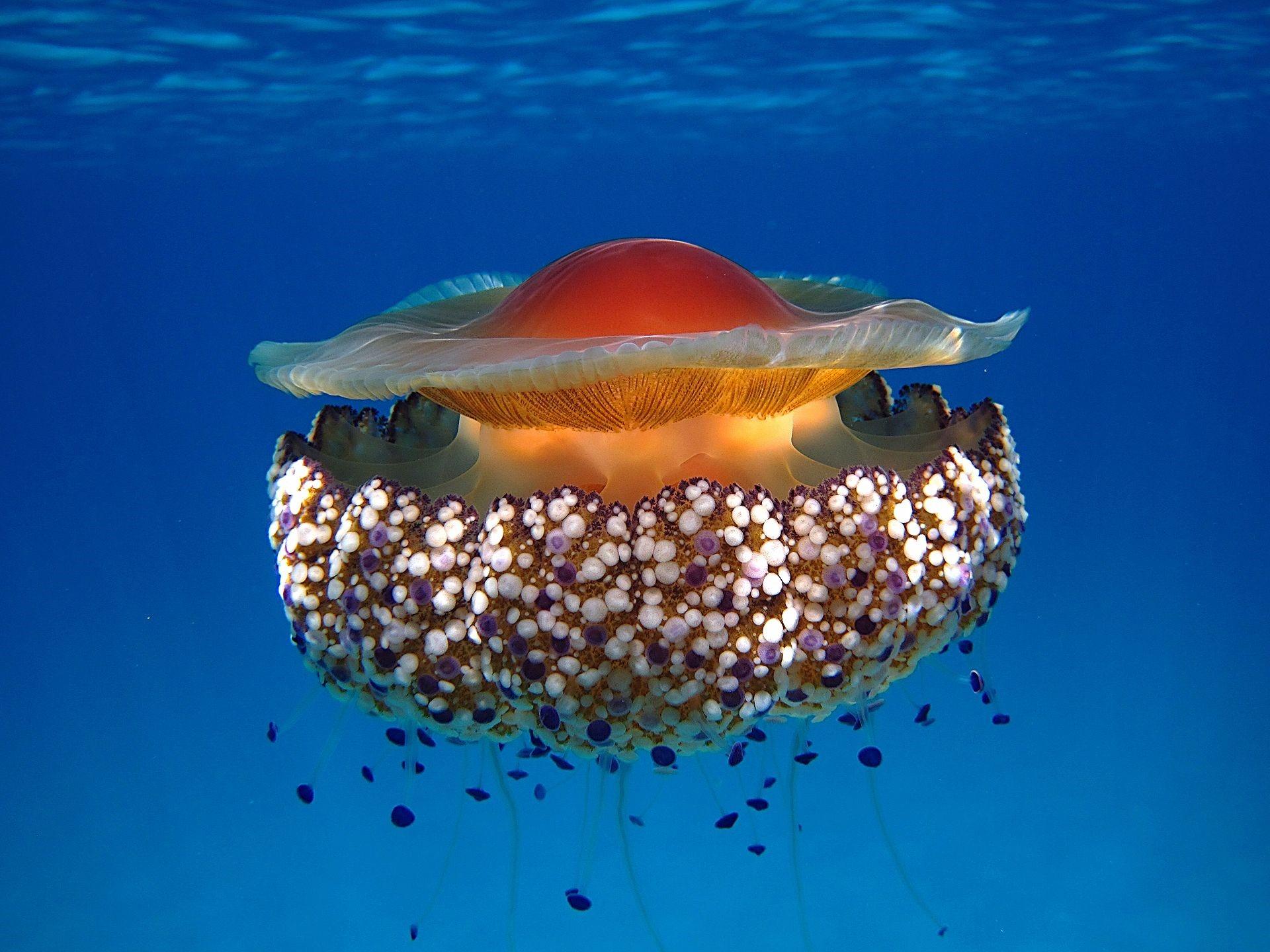 La medusa 'Cotylorhiza tuberculata' ha registrado proliferaciones masivas en el Mar Menor. Imagen: Wikipedia / CSIC