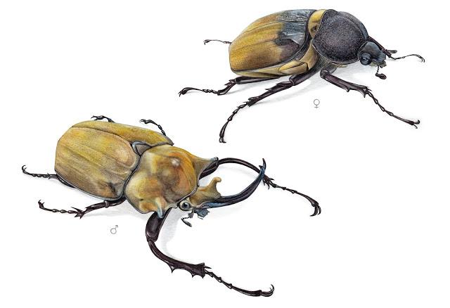 Megasoma elephas, de Carlos Ortega Contreras, mención especial en la categoría de ilustración naturalista. Imagen: MNCN