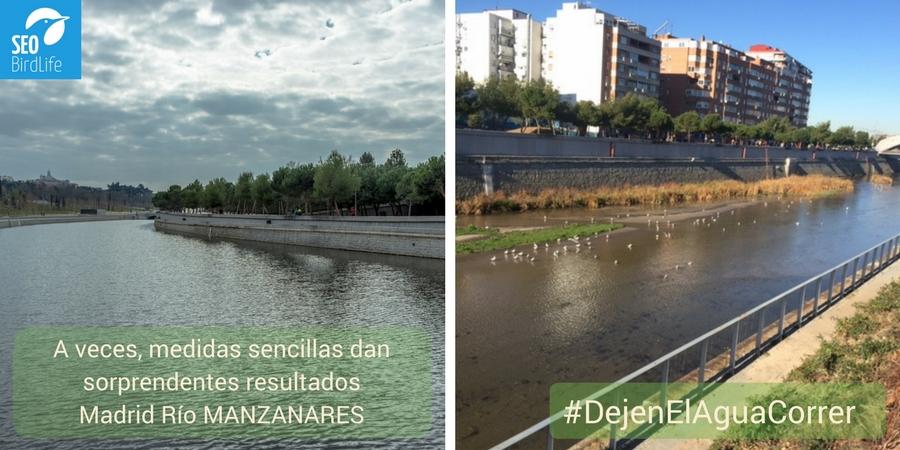 El río Manzanares a su paso por la ciudad de Madrid comienza a recuperar su biodiversidad dejando correr el agua en lugar de represarla. Imagen: SEO/BirdLife