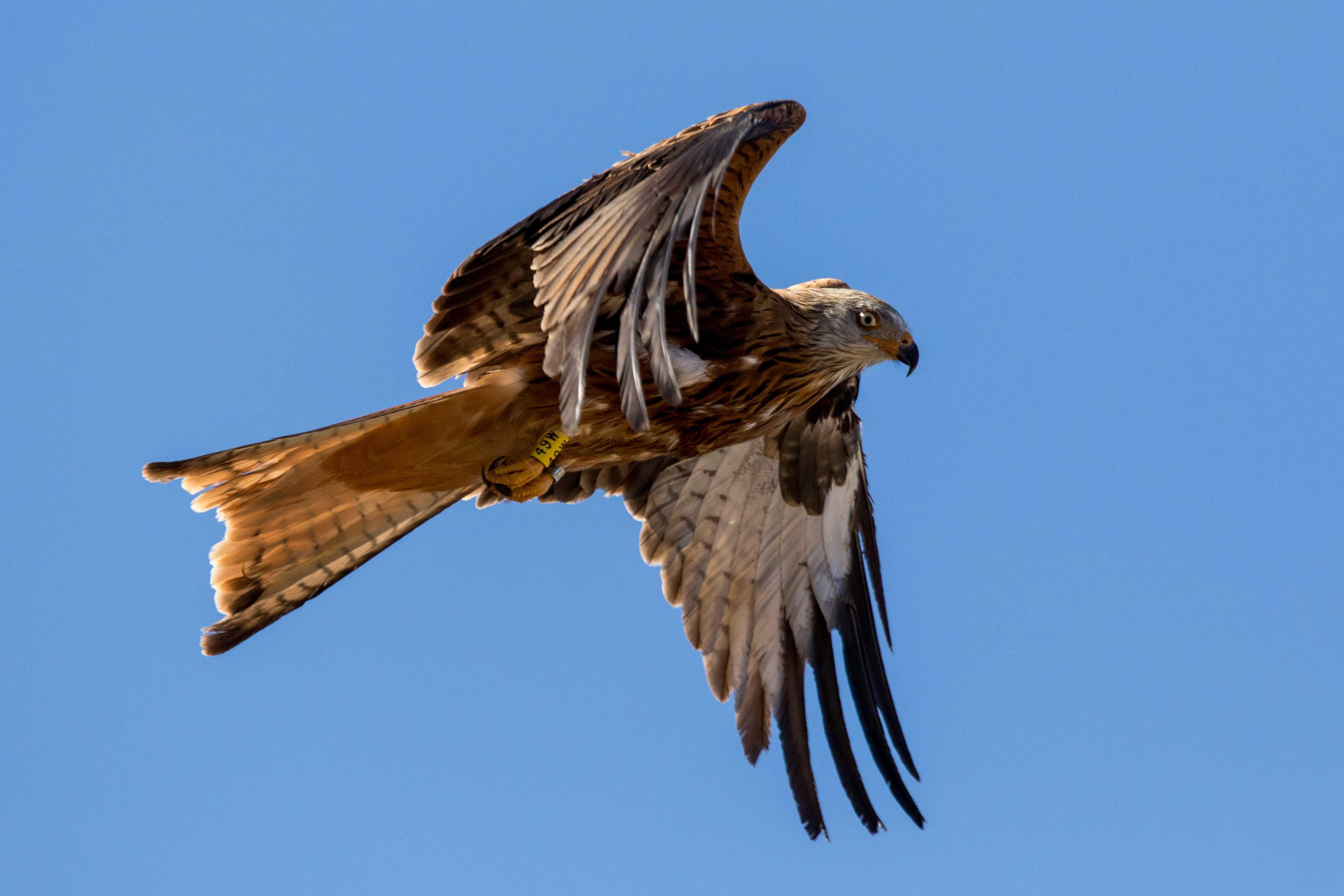 Un milano real alza el vuelo tras ser liberado en el Parque Natural de Cazorla. Imagen: Grefa