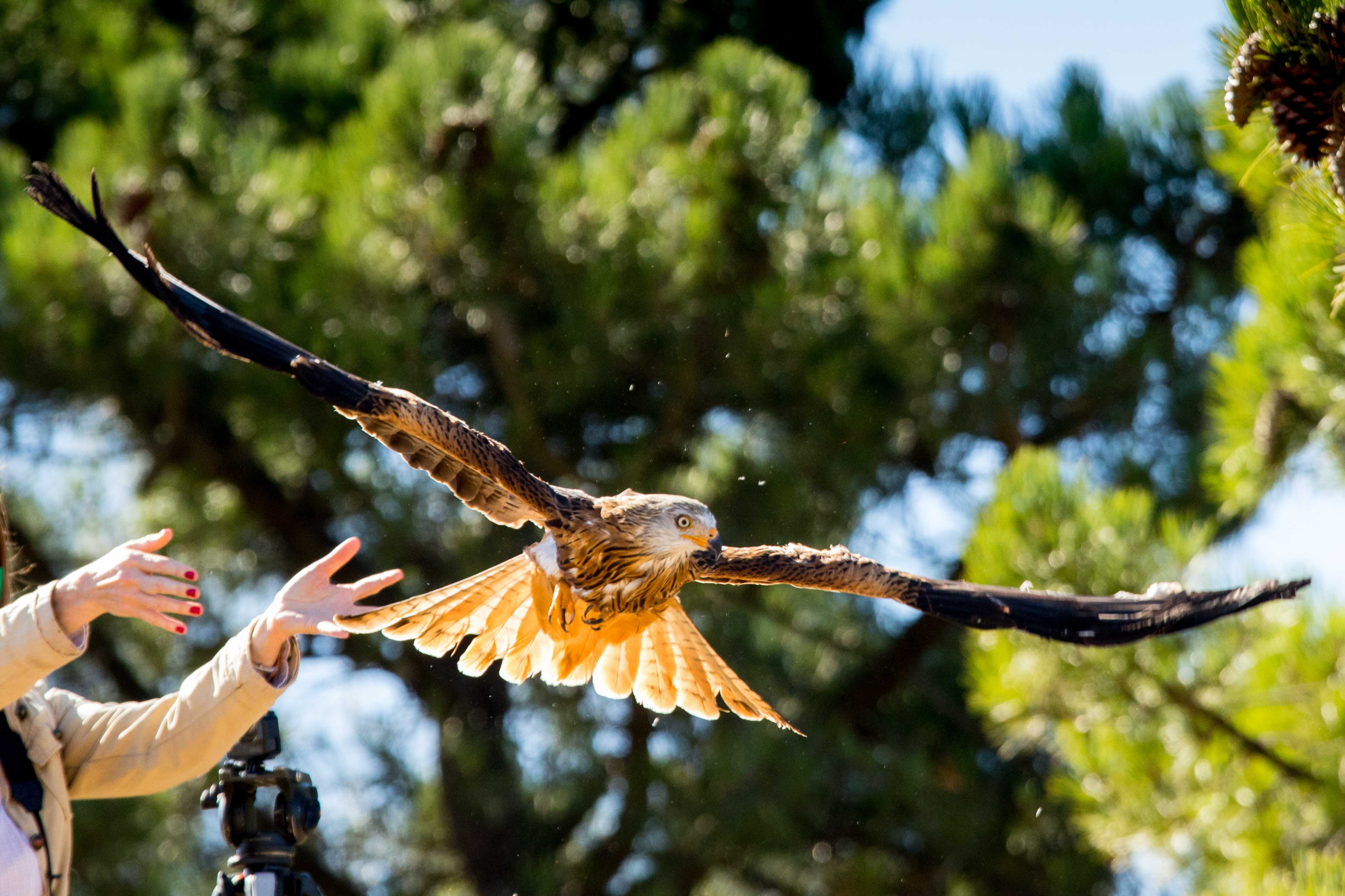 Un milano real es liberado en el Parque Natural de las Sierras de Cazorla, Segura y las Villas (Jaén). Imagen: Grefa